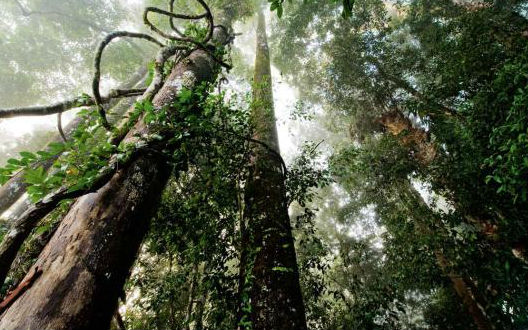 Borneo regnskov